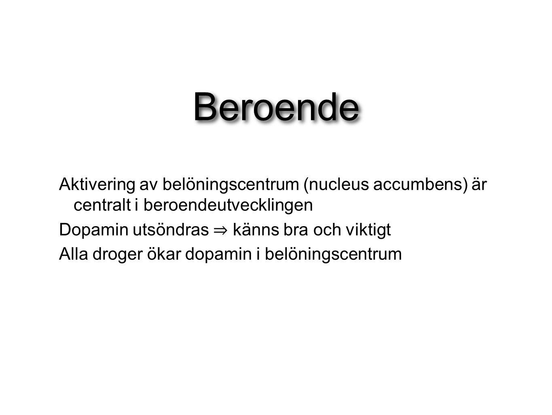 Beroende Aktivering av belöningscentrum (nucleus accumbens) är centralt i beroendeutvecklingen Dopamin utsöndras ⇒ känns bra och viktigt Alla droger ö