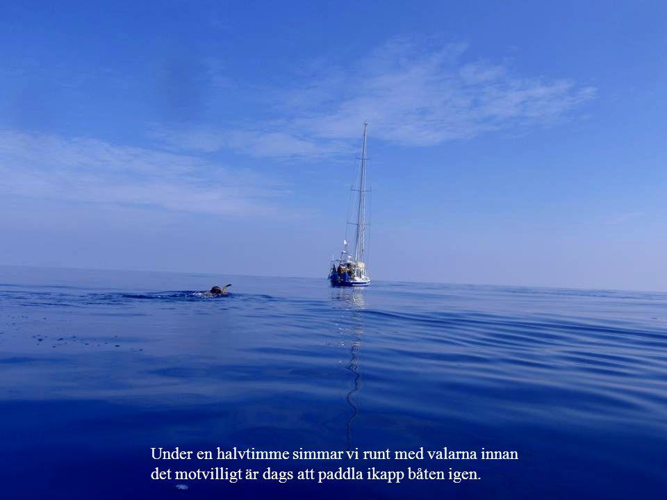 Under en halvtimme simmar vi runt med valarna innan det motvilligt är dags att paddla ikapp båten igen.
