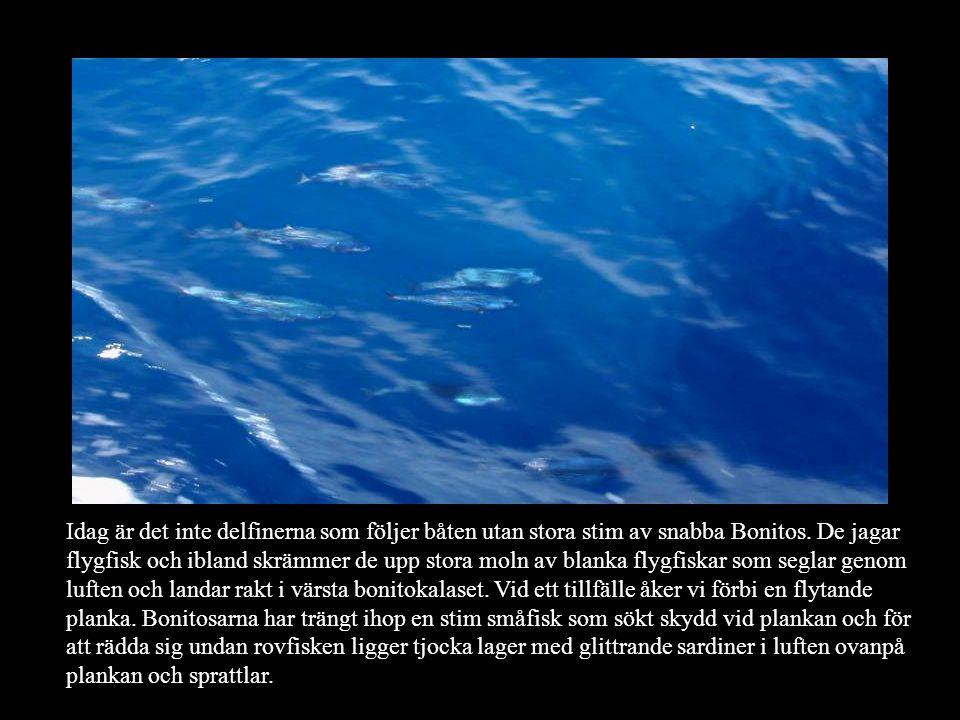 Idag är det inte delfinerna som följer båten utan stora stim av snabba Bonitos.