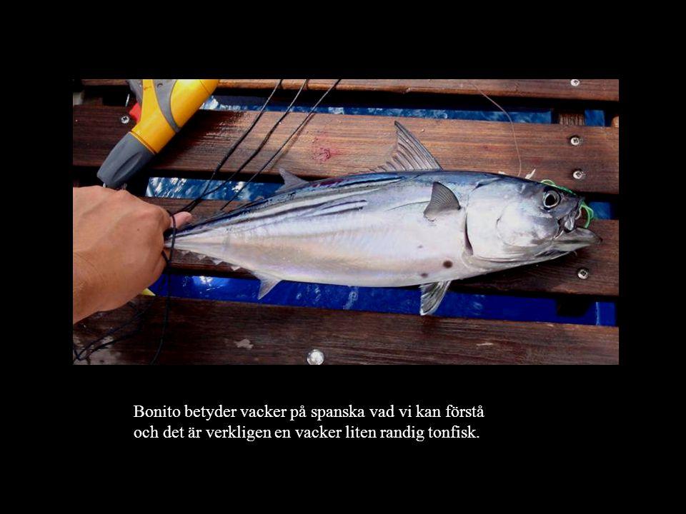 Bonito betyder vacker på spanska vad vi kan förstå och det är verkligen en vacker liten randig tonfisk.