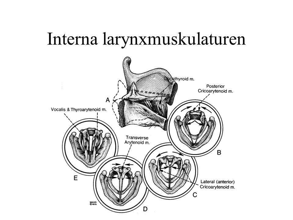 Interna larynxmuskulaturen