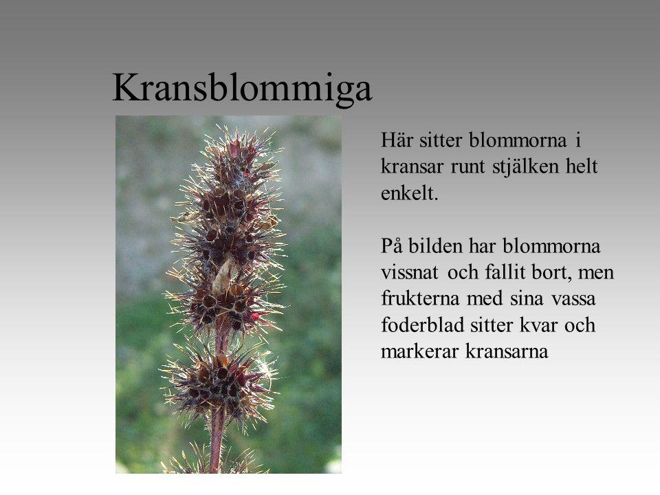 Kransblommiga Här sitter blommorna i kransar runt stjälken helt enkelt.