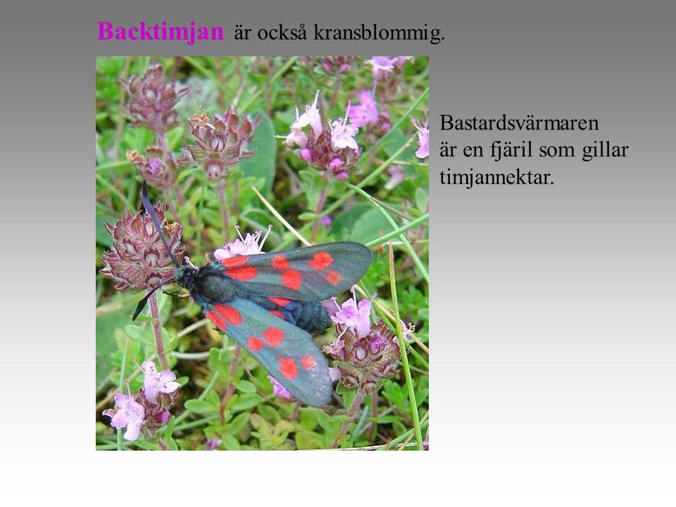 Backtimjan är också kransblommig. Bastardsvärmaren är en fjäril som gillar timjannektar.
