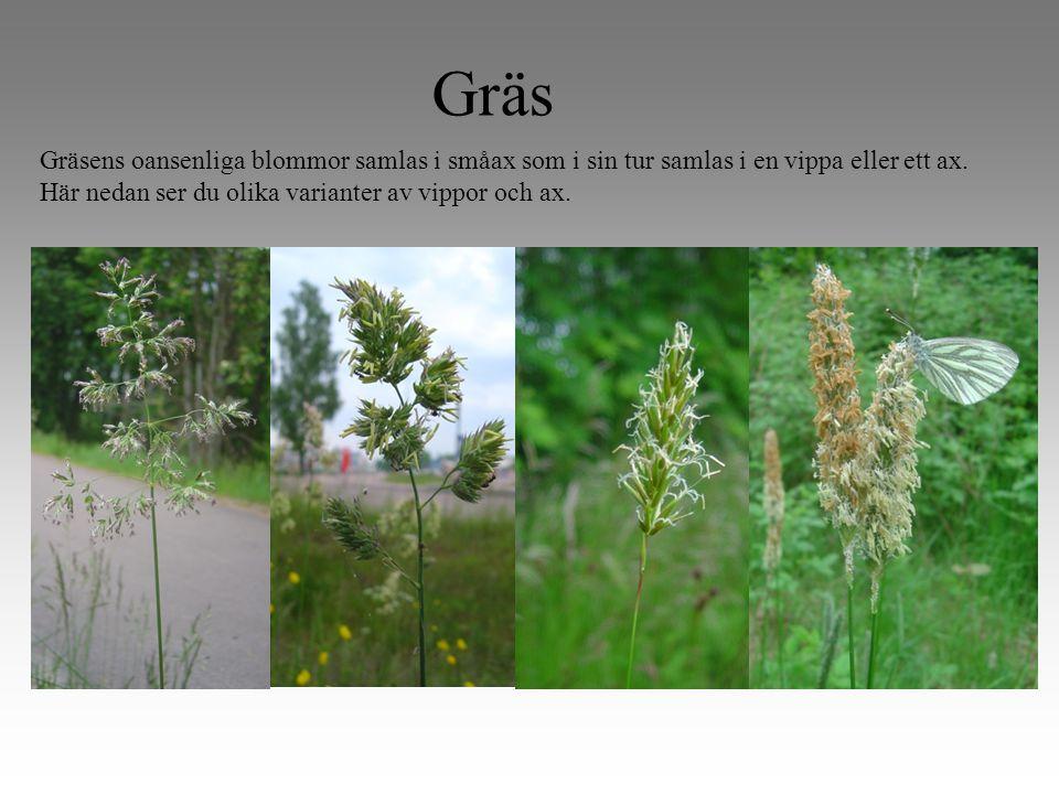 Gräs Gräsens oansenliga blommor samlas i småax som i sin tur samlas i en vippa eller ett ax.