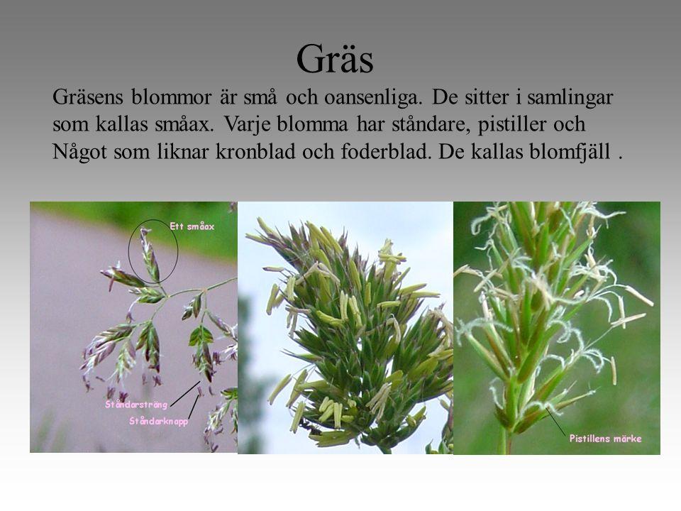 Gräs Gräsens blommor är små och oansenliga.De sitter i samlingar som kallas småax.