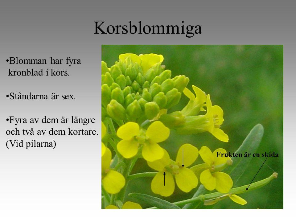 Korsblommiga Blomman har fyra kronblad i kors.Ståndarna är sex.