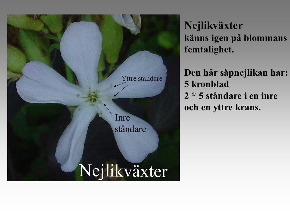 Nejlikväxter känns igen på blommans femtalighet.