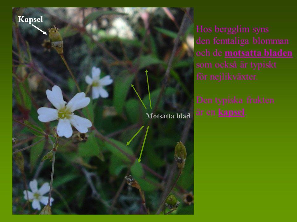 Hos bergglim syns den femtaliga blomman och de motsatta bladen som också är typiskt för nejlikväxter.