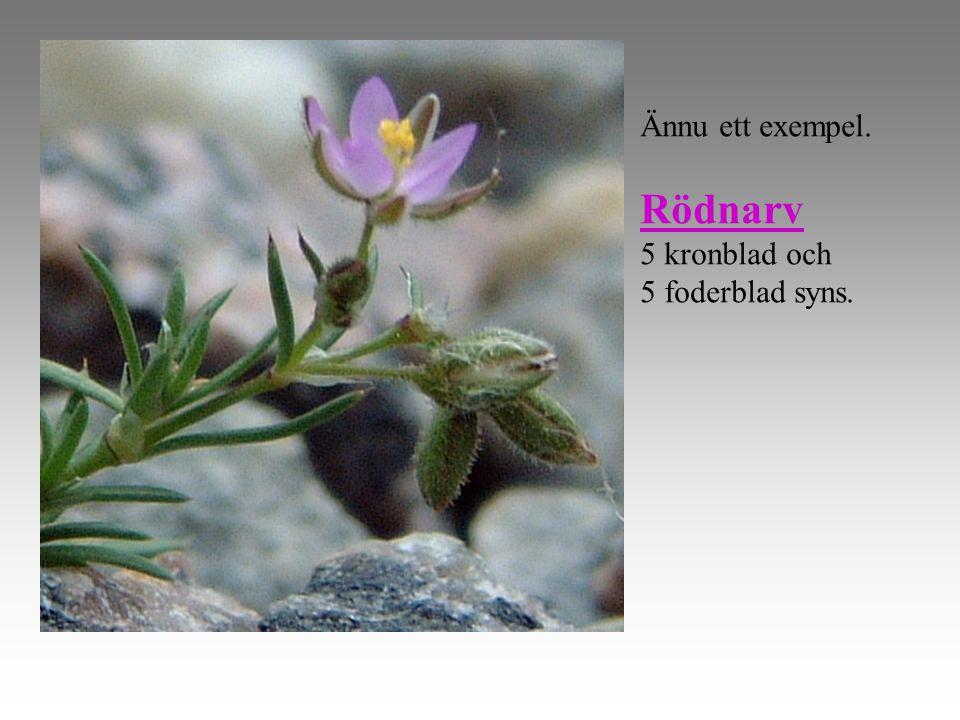 Ännu ett exempel. Rödnarv 5 kronblad och 5 foderblad syns.