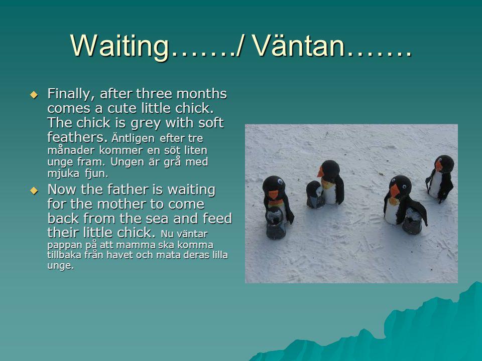 Kids, kids, kids…../Ungar, ungar, ungar…….. At last the mother penguin comes back.