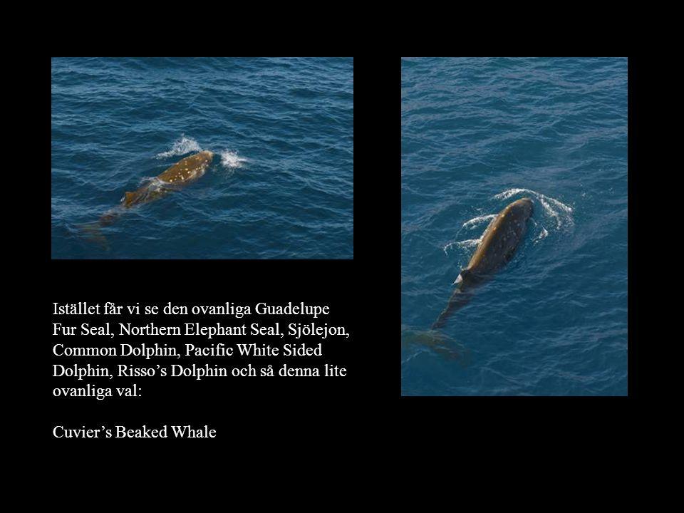 Istället får vi se den ovanliga Guadelupe Fur Seal, Northern Elephant Seal, Sjölejon, Common Dolphin, Pacific White Sided Dolphin, Risso's Dolphin och så denna lite ovanliga val: Cuvier's Beaked Whale