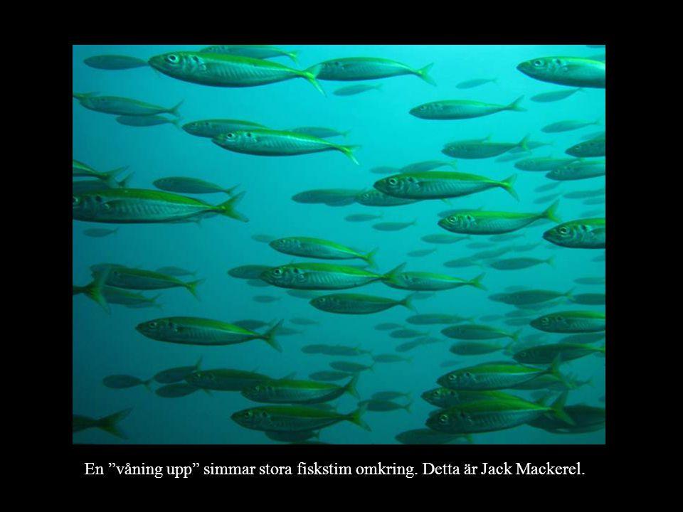 En våning upp simmar stora fiskstim omkring. Detta är Jack Mackerel.