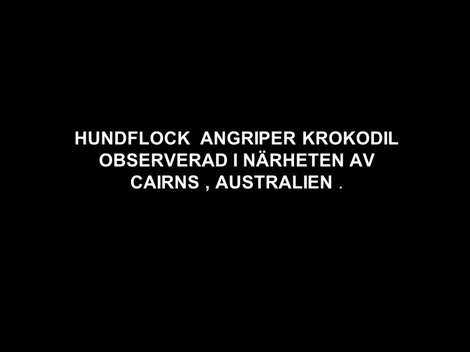 HUNDFLOCK ANGRIPER KROKODIL OBSERVERAD I NÄRHETEN AV CAIRNS, AUSTRALIEN.