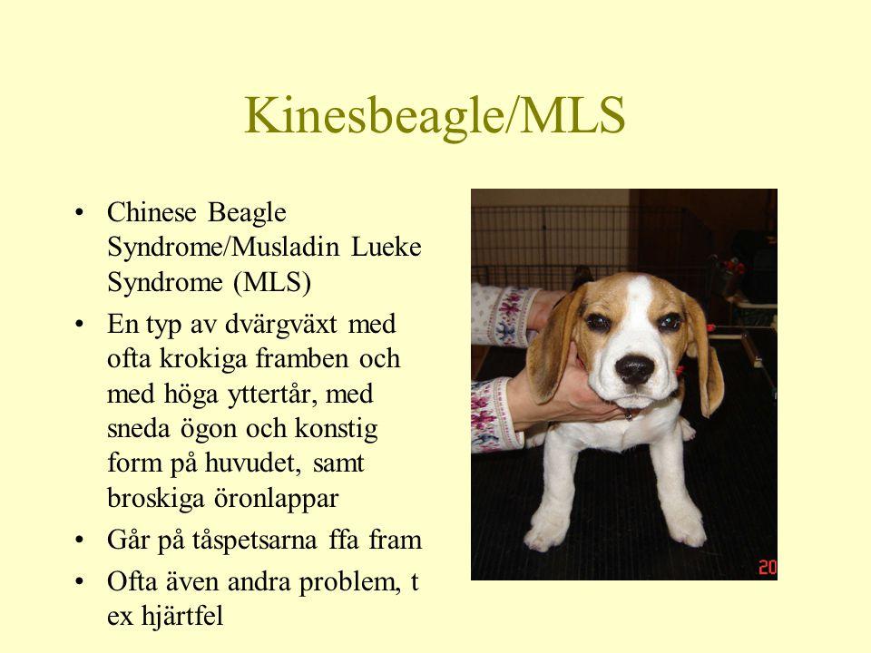 Kinesbeagle/MLS Chinese Beagle Syndrome/Musladin Lueke Syndrome (MLS) En typ av dvärgväxt med ofta krokiga framben och med höga yttertår, med sneda ögon och konstig form på huvudet, samt broskiga öronlappar Går på tåspetsarna ffa fram Ofta även andra problem, t ex hjärtfel