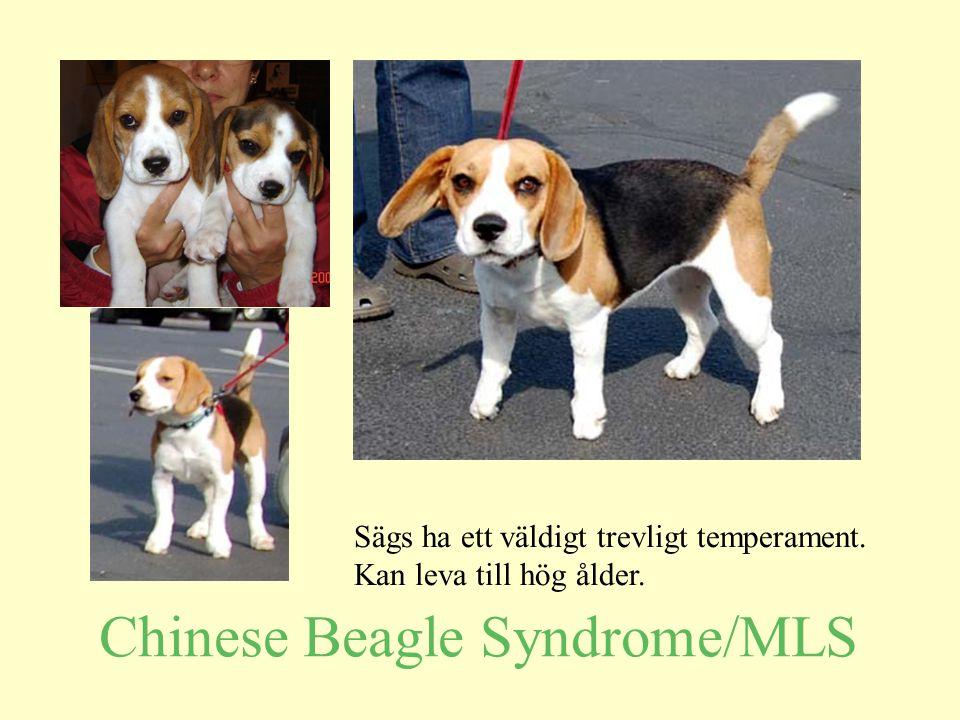 Chinese Beagle Syndrome/MLS Sägs ha ett väldigt trevligt temperament. Kan leva till hög ålder.