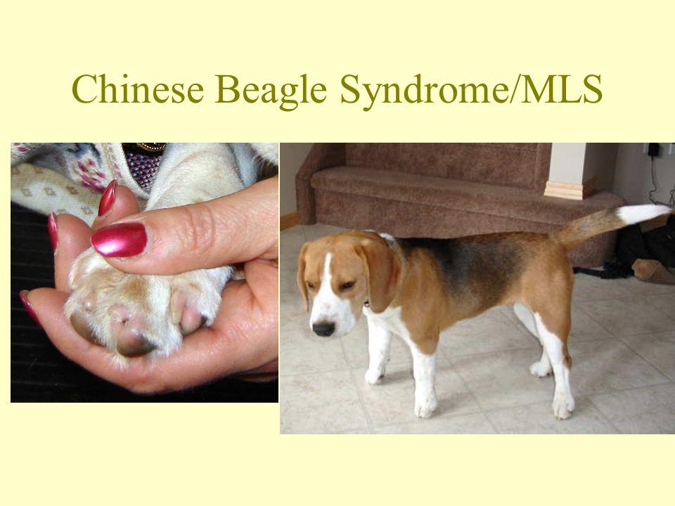 Genetisk forskning på beagle DNA-Prover önskas Dels från beaglar som är helt friska Dels från beaglar med följande problem: –Aseptisk meningit –Kondrodystrofi (krokiga ben) –Lymfom (blodcancer) –Hämangiosarkom (blodcancer)