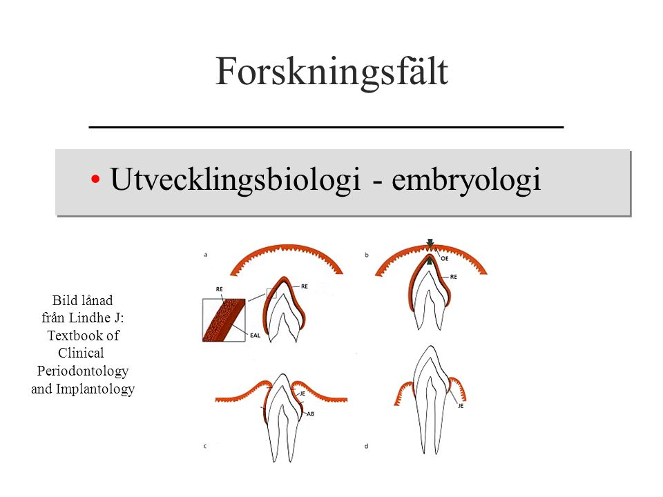 Forskningsfält Utvecklingsbiologi - embryologi Bild lånad från Lindhe J: Textbook of Clinical Periodontology and Implantology