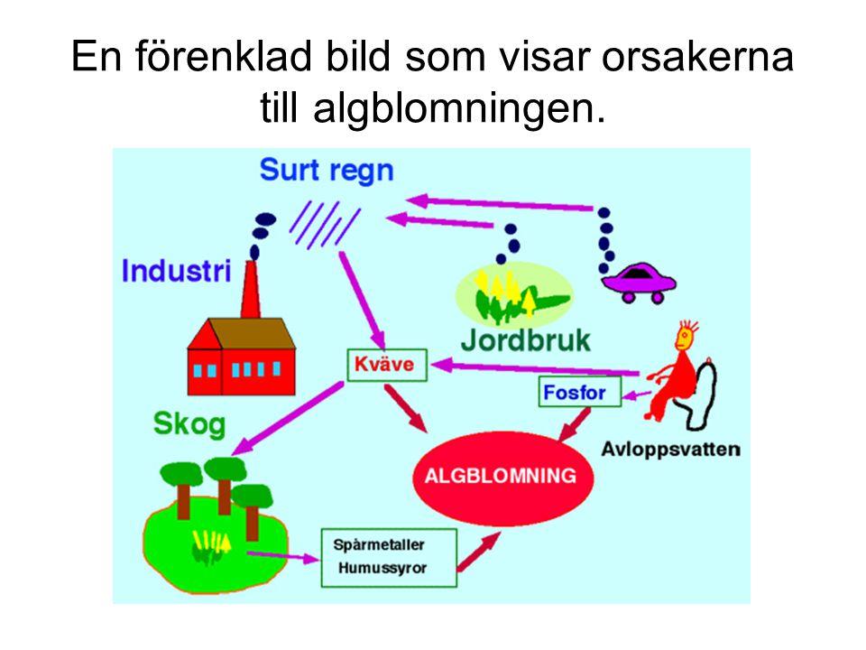 En förenklad bild som visar orsakerna till algblomningen.