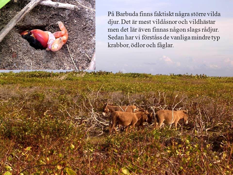 På Barbuda finns faktiskt några större vilda djur.