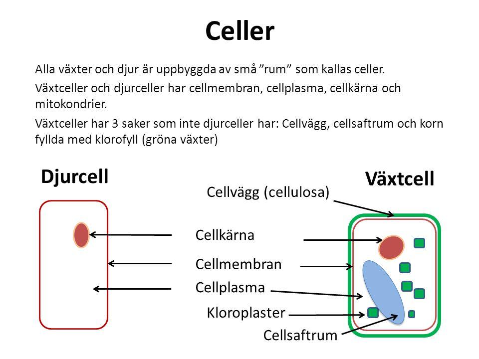 """Celler Alla växter och djur är uppbyggda av små """"rum"""" som kallas celler. Växtceller och djurceller har cellmembran, cellplasma, cellkärna och mitokond"""