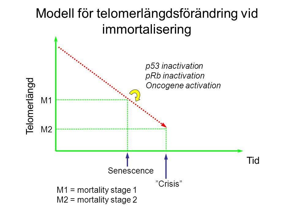 M1 M2 p53 inactivation pRb inactivation Oncogene activation Tid Senescence Crisis M1 = mortality stage 1 M2 = mortality stage 2 Telomerlängd Modell för telomerlängdsförändring vid immortalisering
