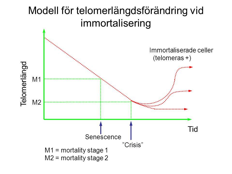 M1 M2 Tid Senescence Crisis M1 = mortality stage 1 M2 = mortality stage 2 Immortaliserade celler (telomeras +) Telomerlängd Modell för telomerlängdsförändring vid immortalisering