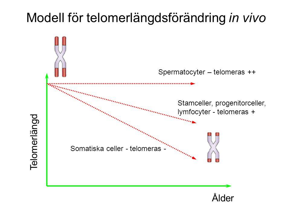 Ålder Telomerlängd Spermatocyter – telomeras ++ Stamceller, progenitorceller, lymfocyter - telomeras + Somatiska celler - telomeras - Modell för telomerlängdsförändring in vivo