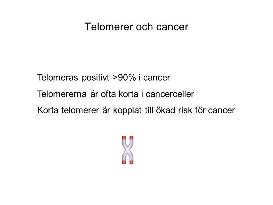 Telomeras positivt >90% i cancer Telomererna är ofta korta i cancerceller Korta telomerer är kopplat till ökad risk för cancer Telomerer och cancer