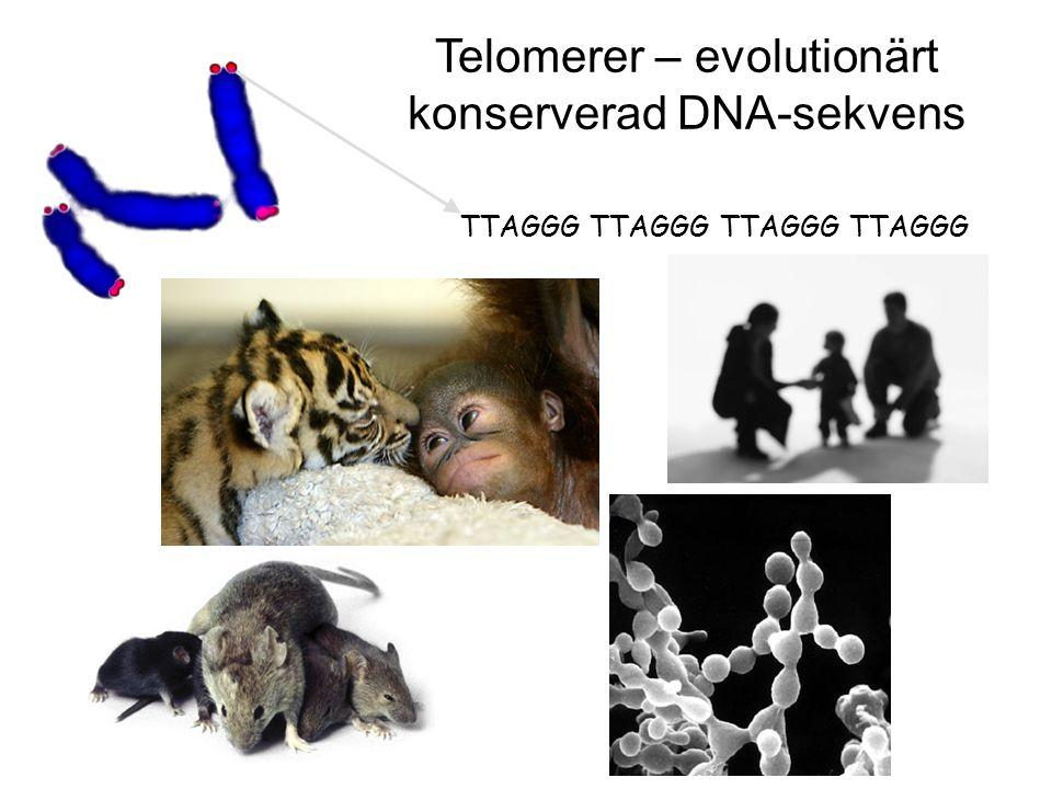 TTAGGG TTAGGG Telomerer – evolutionärt konserverad DNA-sekvens