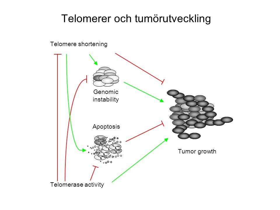 Genomic instability Tumor growth Telomerase activity Telomere shortening Apoptosis Telomerer och tumörutveckling