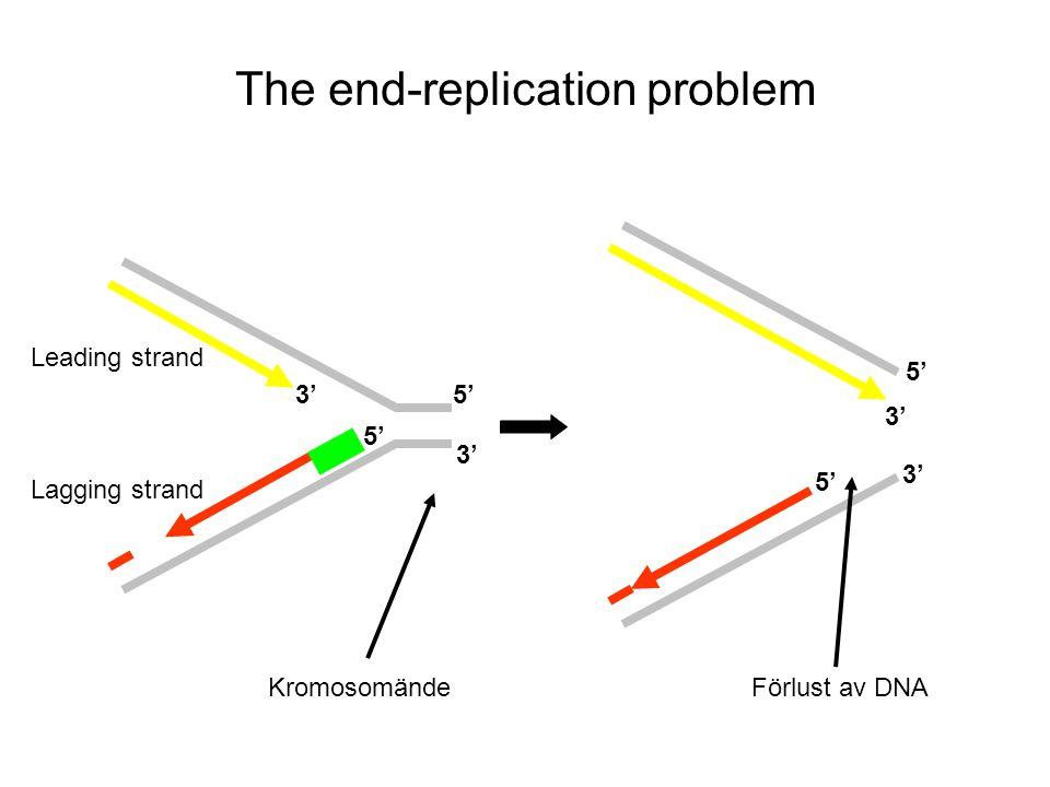 The end-replication problem 5' 3' 5' 3' Lagging strand Leading strand Kromosomände Förlust av DNA