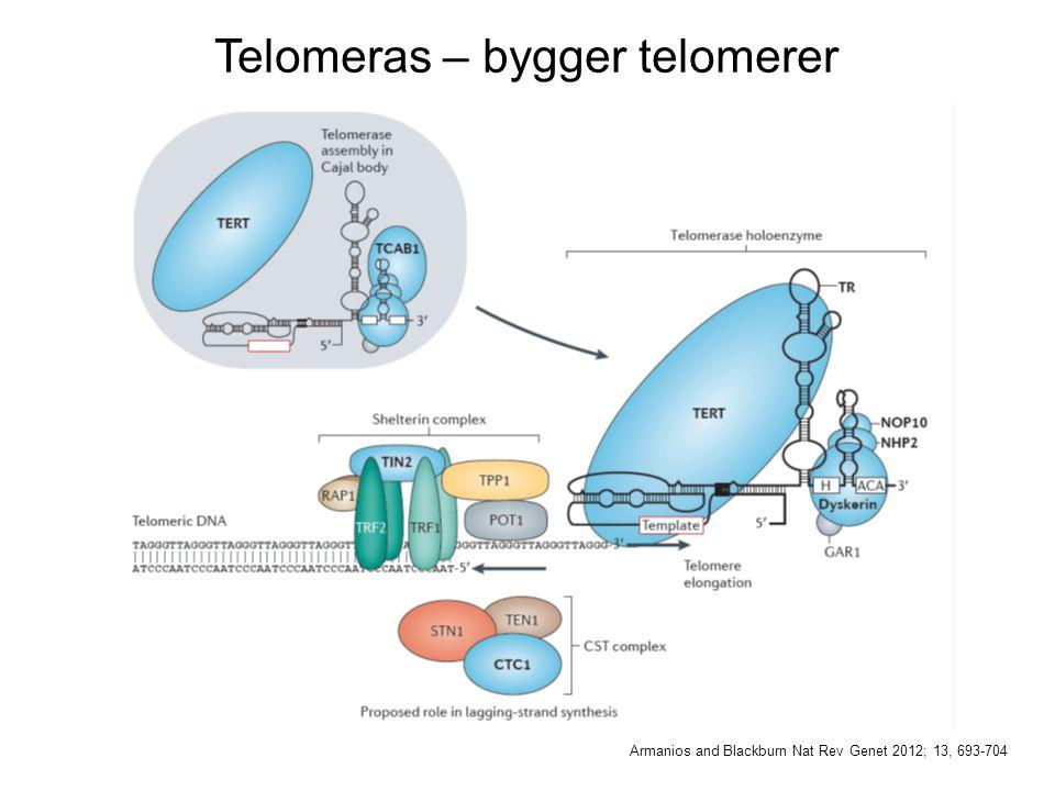Telomeras – bygger telomerer Armanios and Blackburn Nat Rev Genet 2012; 13, 693-704