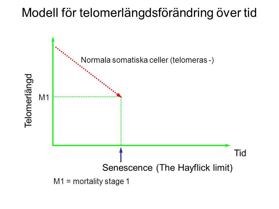 M1 Telomerlängd Tid Senescence (The Hayflick limit) M1 = mortality stage 1 Normala somatiska celler (telomeras -) Modell för telomerlängdsförändring över tid