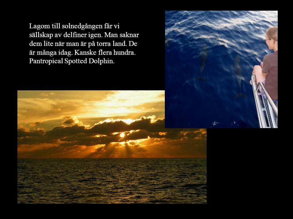 Lagom till solnedgången får vi sällskap av delfiner igen. Man saknar dem lite när man är på torra land. De är många idag. Kanske flera hundra. Pantrop