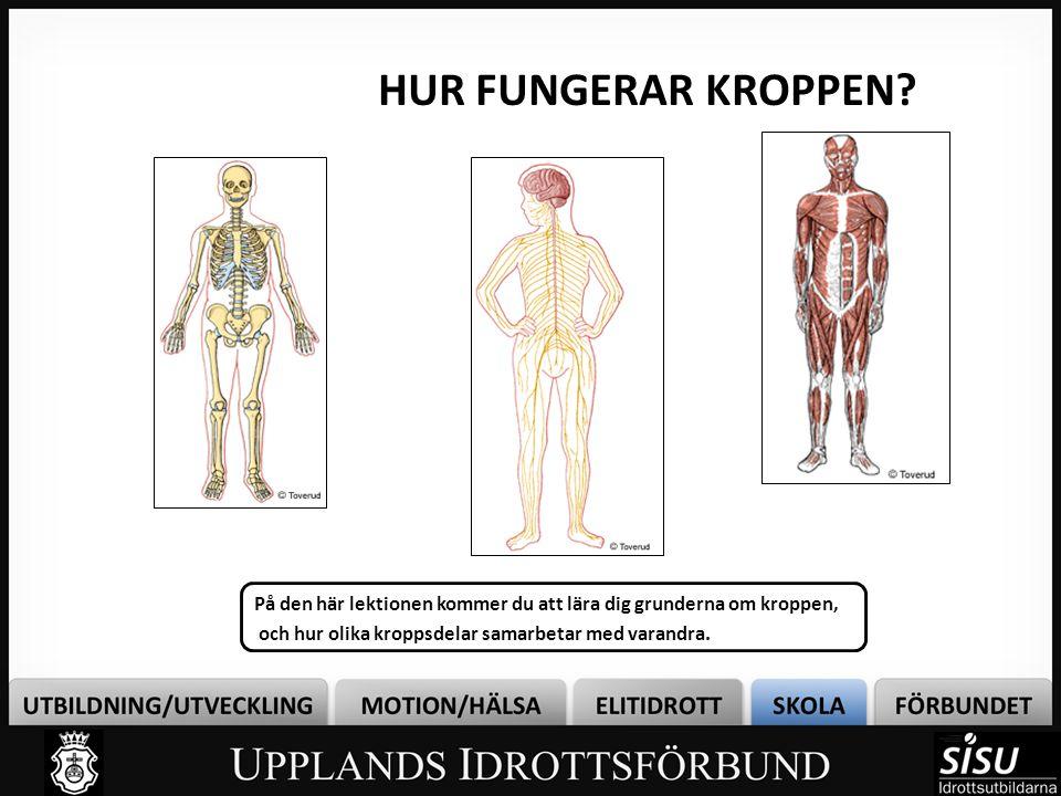 Skelettet består av ca 200 ben.Fungerar som stomme för kroppen och håller den upprest.