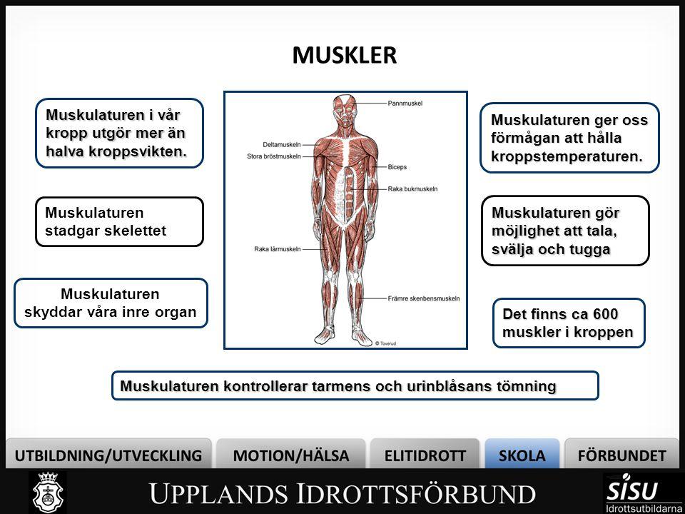 MUSKLER Muskulaturen gör möjlighet att tala, svälja och tugga Muskulaturen skyddar våra inre organ Muskulaturen stadgar skelettet Muskulaturen i vår kropp utgör mer än halva kroppsvikten.