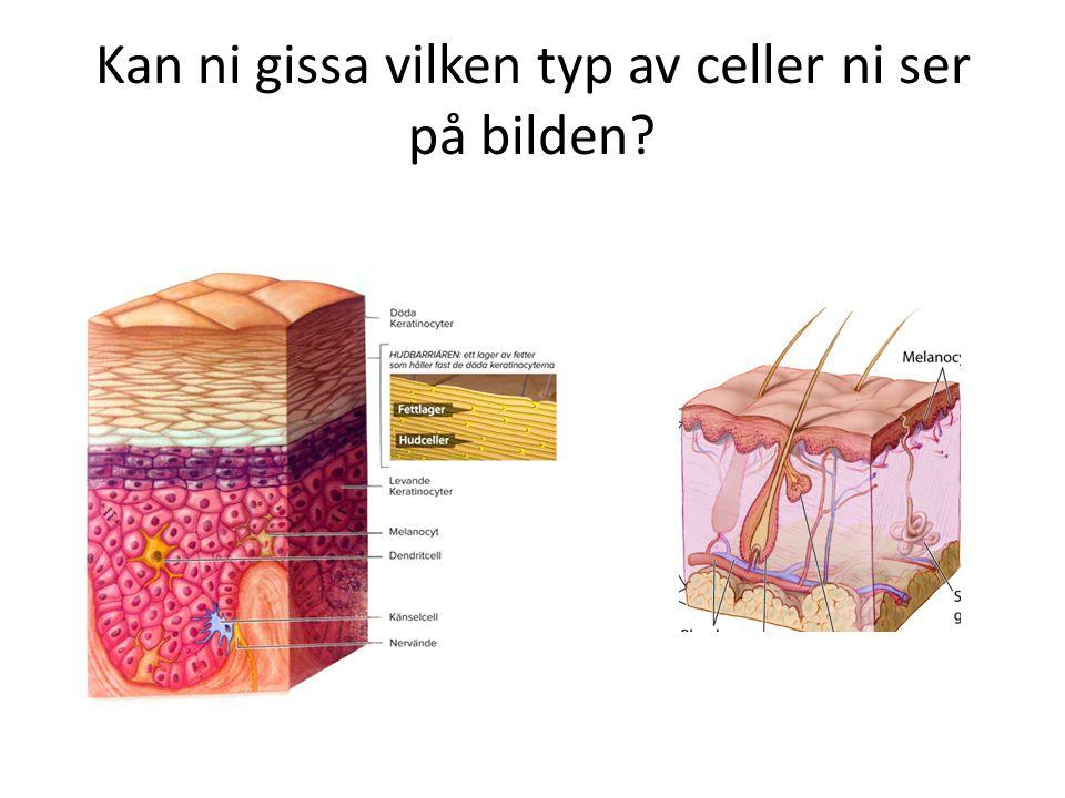 Kan ni gissa vilken typ av celler ni ser på bilden?