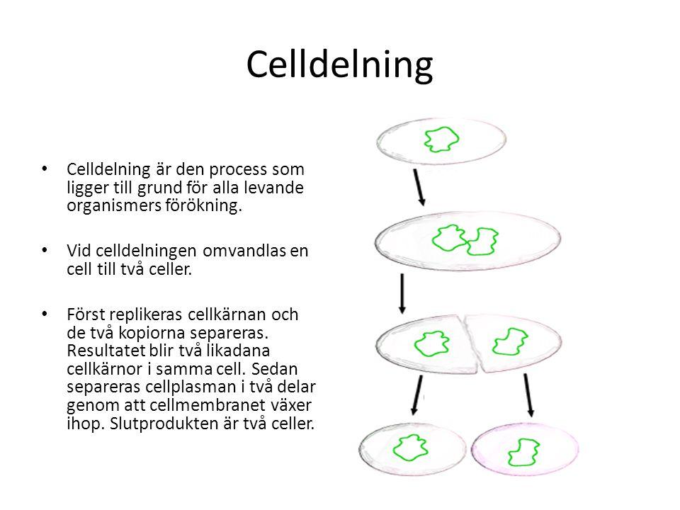 Celldelning Celldelning är den process som ligger till grund för alla levande organismers förökning. Vid celldelningen omvandlas en cell till två cell