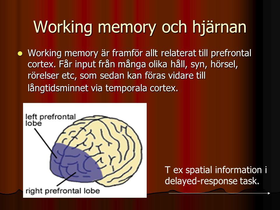 Working memory och hjärnan Working memory är framför allt relaterat till prefrontal cortex. Får input från många olika håll, syn, hörsel, rörelser etc