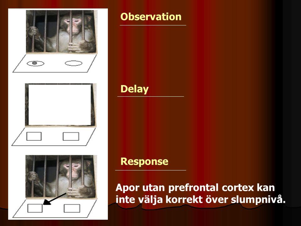 Apor utan prefrontal cortex kan inte välja korrekt över slumpnivå. Observation Delay Response