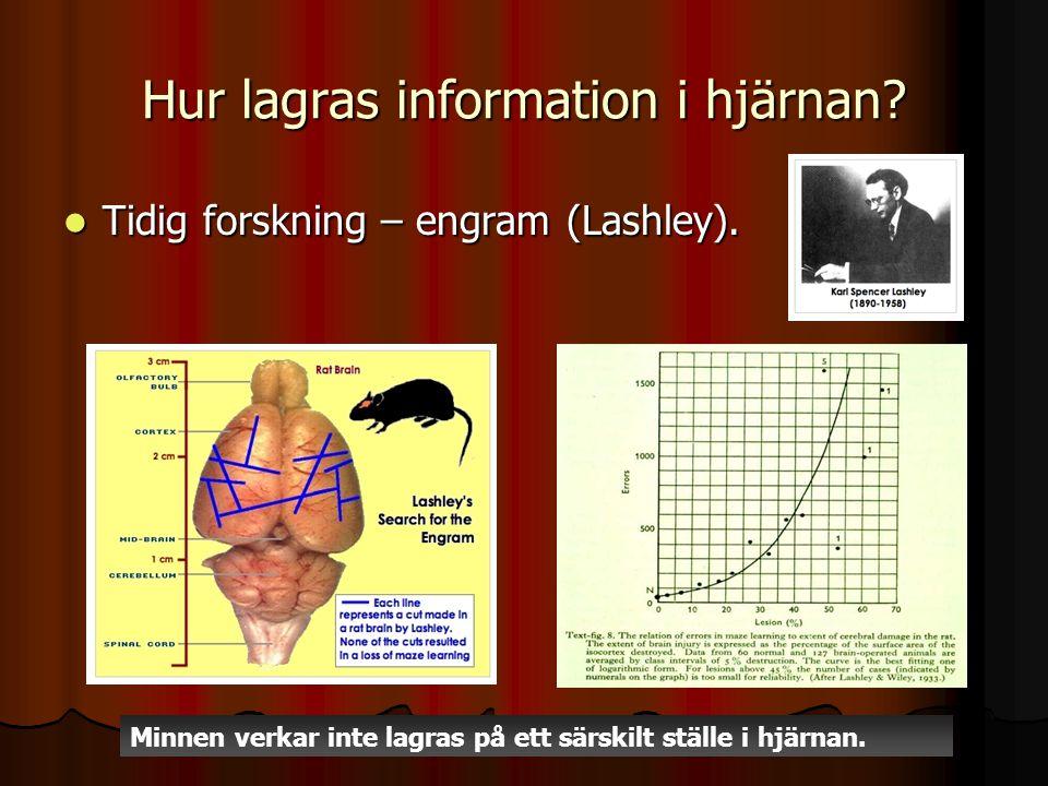 Hur lagras information i hjärnan? Tidig forskning – engram (Lashley). Tidig forskning – engram (Lashley). Minnen verkar inte lagras på ett särskilt st
