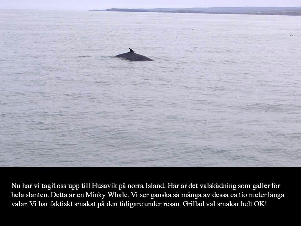 Nu har vi tagit oss upp till Husavik på norra Island. Här är det valskådning som gäller för hela slanten. Detta är en Minky Whale. Vi ser ganska så må