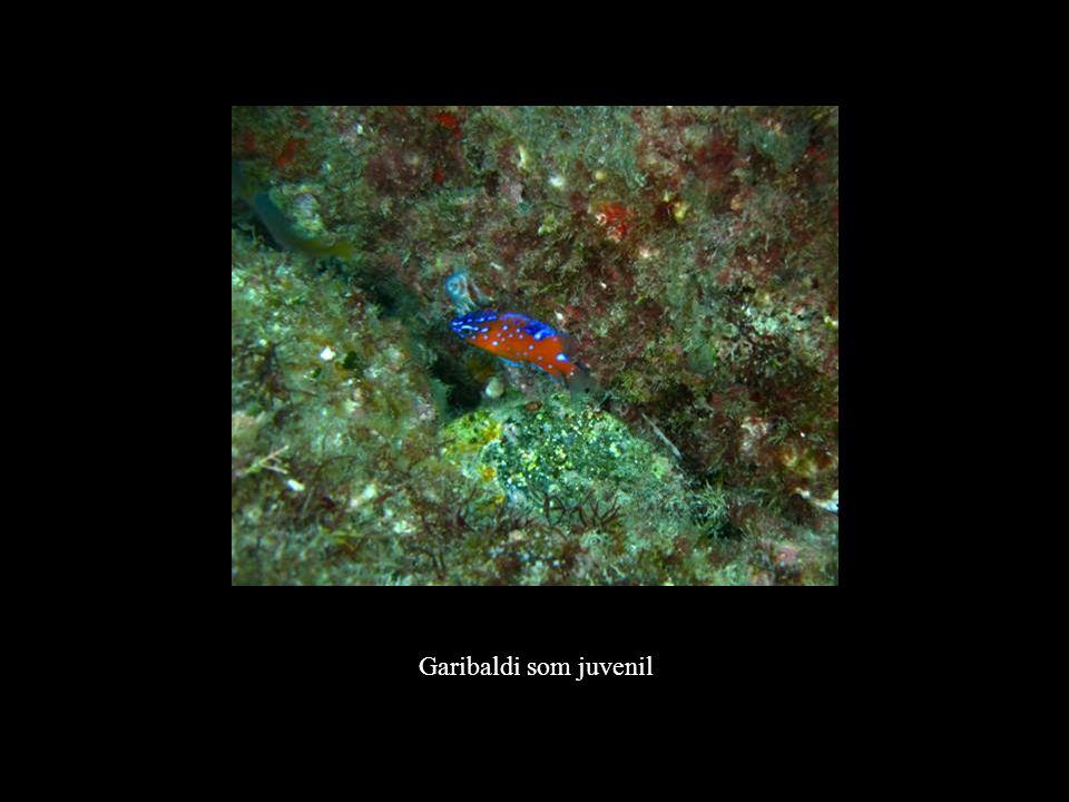 Garibaldi som juvenil