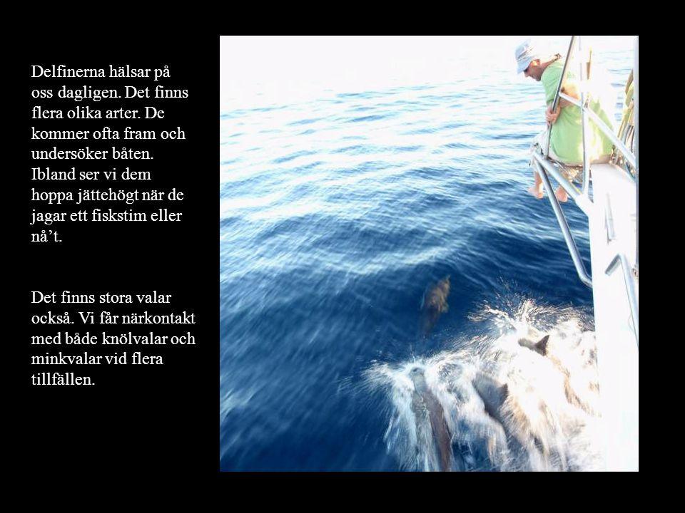 Delfinerna hälsar på oss dagligen. Det finns flera olika arter.