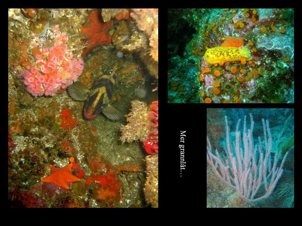 Kelp är en brungul växt som växer i långa piskor och sträcker sig hela vägen mellan botten och ytan.