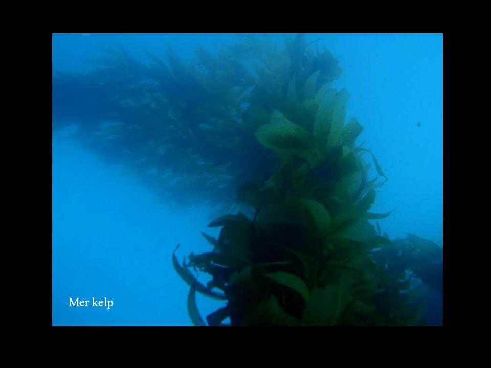 Mer kelp