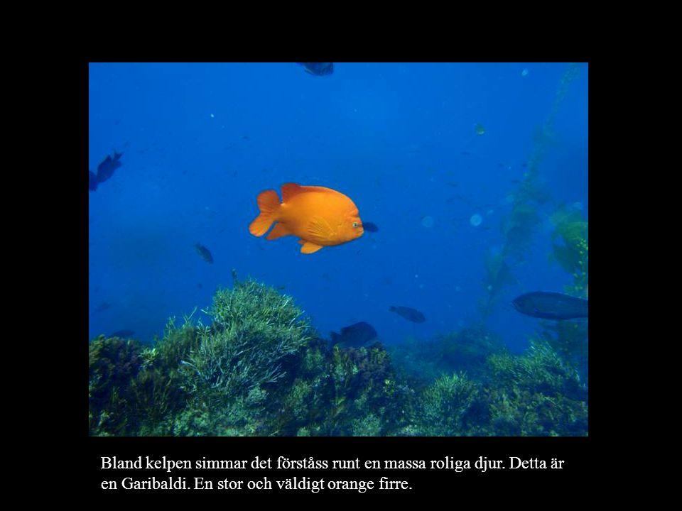 Bland kelpen simmar det förståss runt en massa roliga djur.