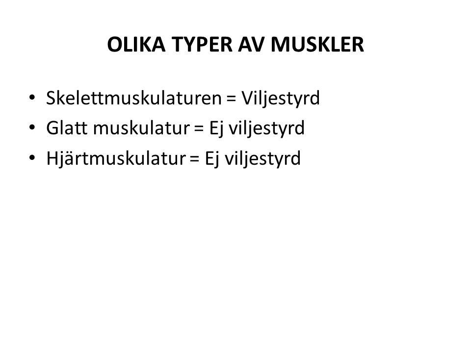 OLIKA TYPER AV MUSKLER Skelettmuskulaturen = Viljestyrd Glatt muskulatur = Ej viljestyrd Hjärtmuskulatur = Ej viljestyrd