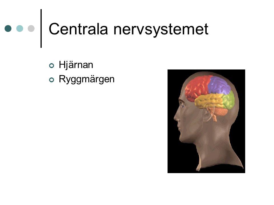 Centrala nervsystemet Hjärnan Ryggmärgen