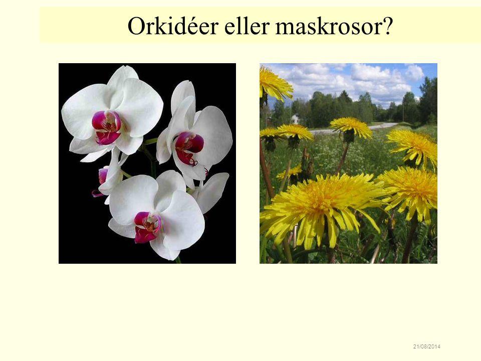 21/08/2014 Orkidéer eller maskrosor?